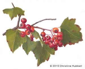 Washington Hawthorn berries