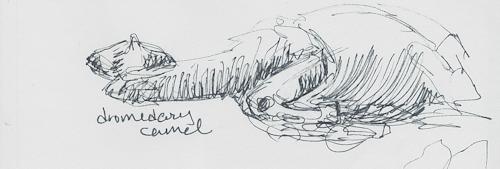 Dromedary camel
