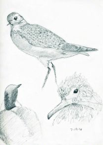 bird sketches