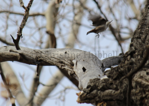 White-breasted Nuthatch in flight