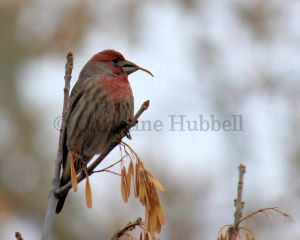 House finch on a branch eating ash seed