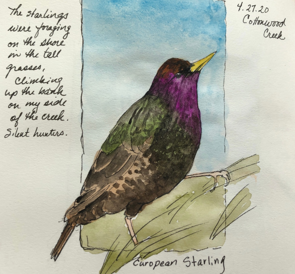 "Photograph of a page from a nature journal that shows a color drawing of a european starling; dated April 27, 2020. Includes some text in the margin ""The starlings were foraging on the shore in the tall grasses, climbing up the bank on my side of the creek. Silent hunters."