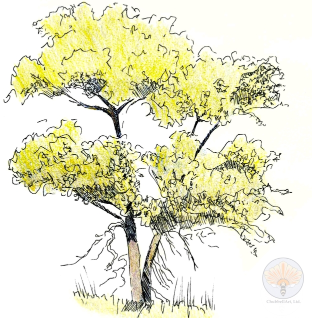 Ink and colored pencil nature journal sketch of a tree